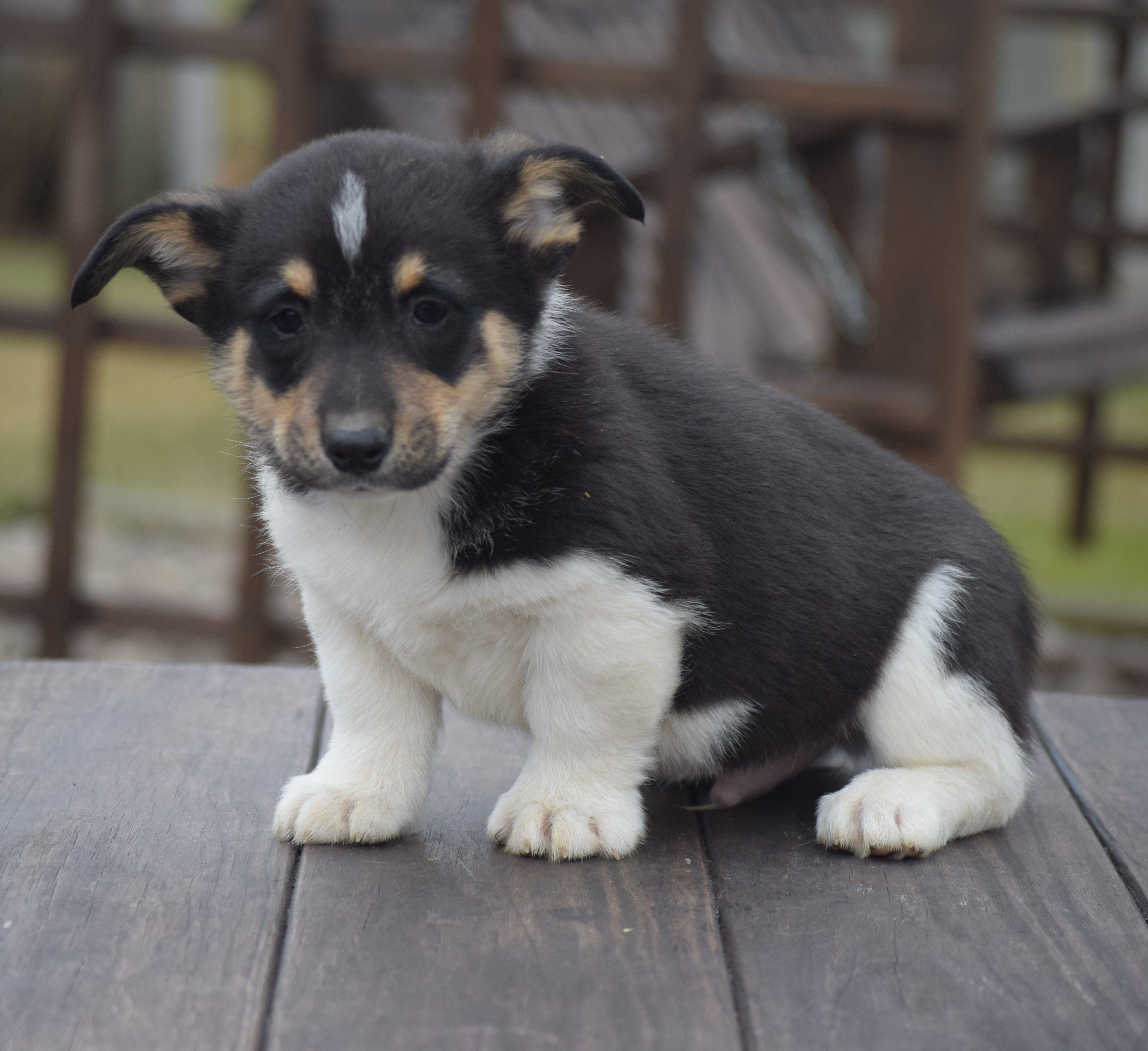 Sam male AKC Pembroke Welsh pup for sale near