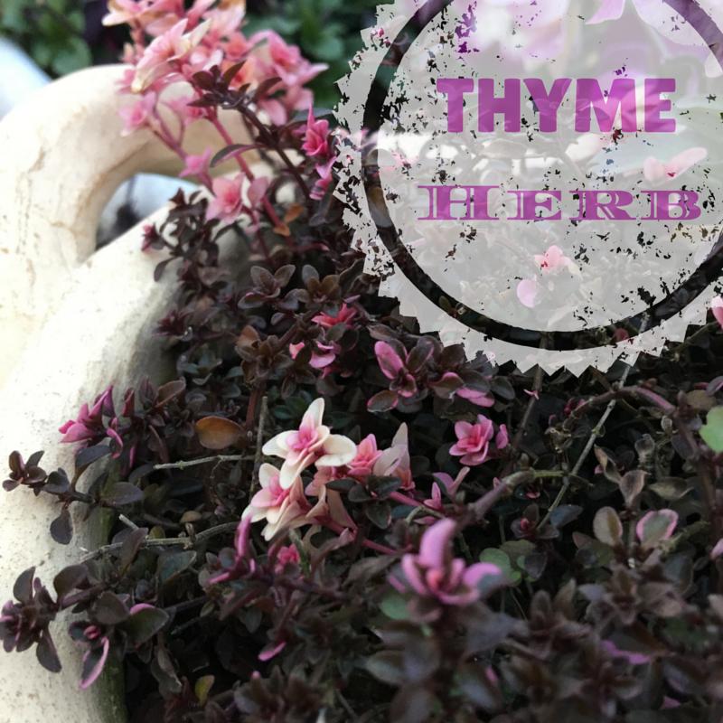 Thyme, useful herb