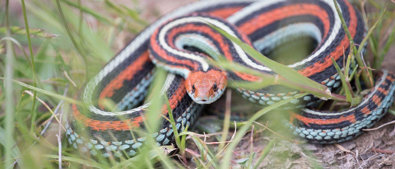 Snakes On A Plain Monitoring The Endangered San Francisco Garter
