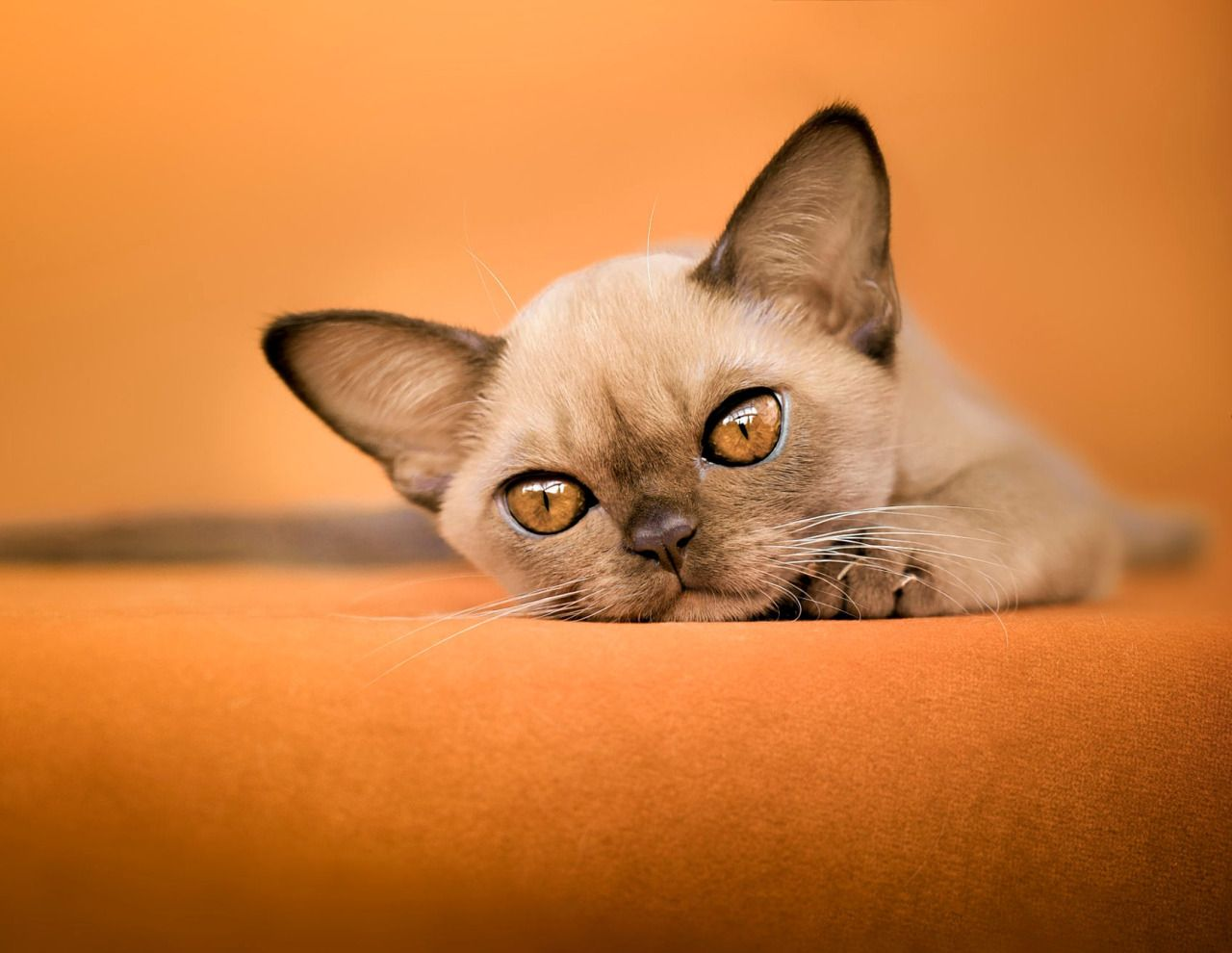 Orange Kit Kat By Svetlana Jones Chocolate Burmese Kitten Burmese Kittens Burmese Cat Small Cat Breeds