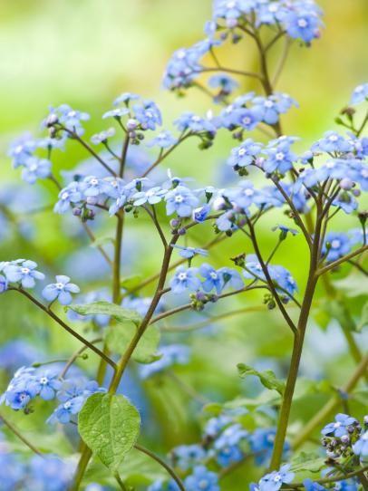 Perennials that love shade perennials flowers and gardens brunnera siberian bugloss flowers perennial mightylinksfo