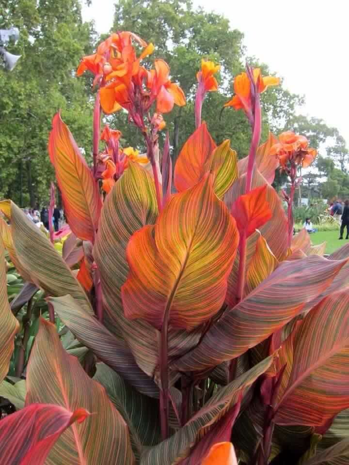 canna lily with variegated leaves.beautiful