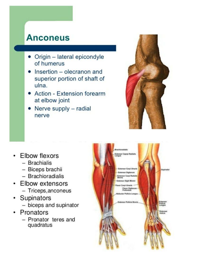 Anconeus ( Screwing movement ) ( resist abduction of ulna during ...