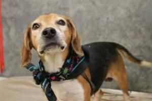 Regina Ge Is An Adoptable Beagle Searching For A Forever Family Near Greenville Sc Use Petfinder To Find Adop In 2020 Adoptable Beagle Beagle Dog Tiny Puppies For Sale