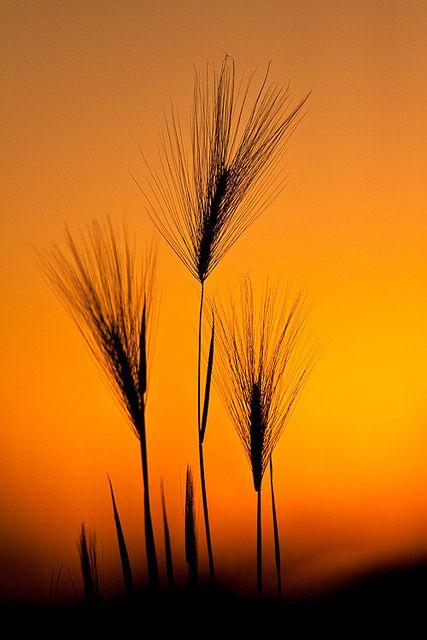 Foxtail barley . Photo: Jerry Mercier, via Flickr