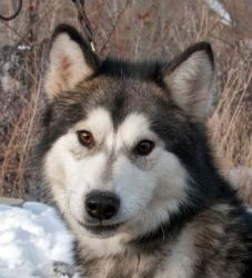 Adopt Maverick On Alaskan Malamute Malamute Dog Dogs