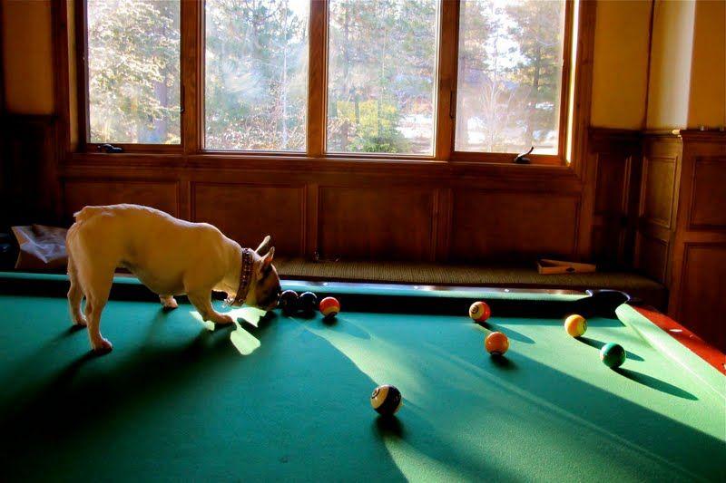 Billiard dog billiard animals pinterest pool - Swimming pool accessories for dogs ...