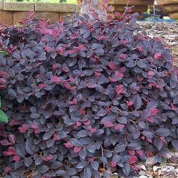 Loropetalum Chinense Var Rubrum Purple Majesty Or Purple Pixie