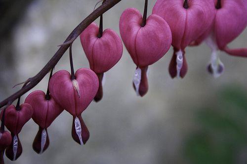 Bleeding Hearts One Of Favoritest Flowers Ever 3 Bleeding Heart Flower Bleeding Heart Flower Heart