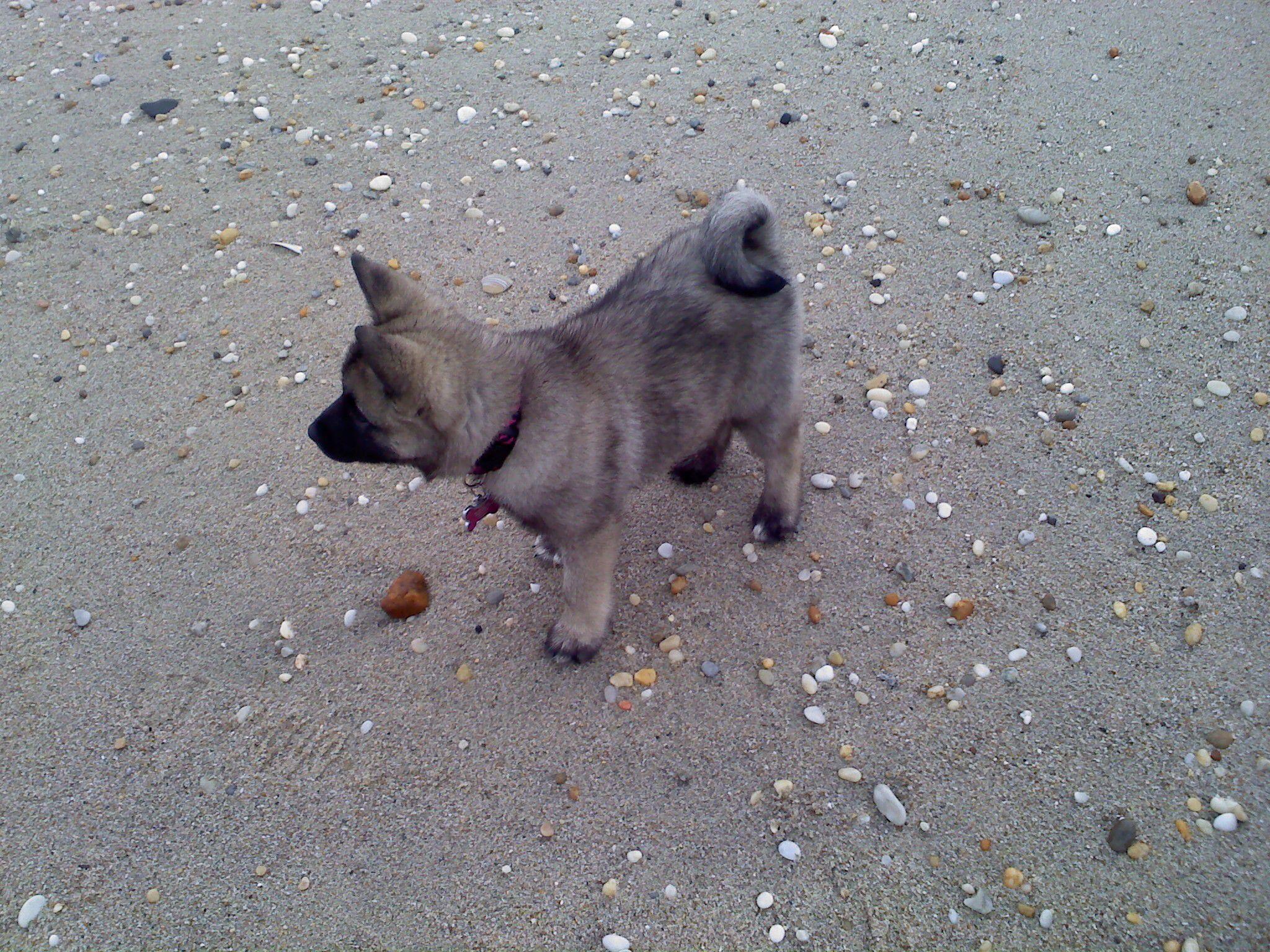 Beach puppy norwegian elkhound Norwegian elkhound