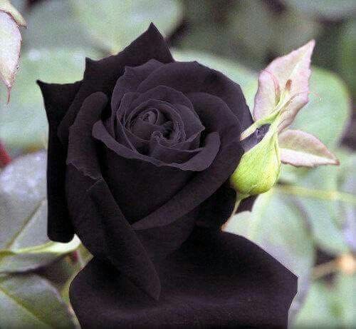الزهرة السوداء لا تنمو الا في مكان واحد فقط في قرية اسمها هيلفيتي في تركيا ولا تصبح سوداء الا في فصل الصيف Black Rose Seeds Rose Seeds Black Flowers