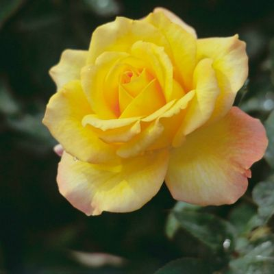 The Meaning Of Every Rose Color Yellow Roses Flowers And Flowers