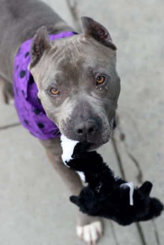 "Safe ❣ DIESEL_a1091531 TO BE DESTROYED 10/09/16 **ON PUBLIC LIST** Poor Diesel… All this boy really wants is some consistent attention. The 5 year-old, blue pittie mix was found wandering the streets of New York all alone when a good samaritan picked him up. His ""finder"" reported that Diesel got along quite well with her dog. Perhaps Diesel thought he was FINALLY getting the loving home he always wanted. But those hopes were dashed when his finder brought him to the Brooklyn ACC"