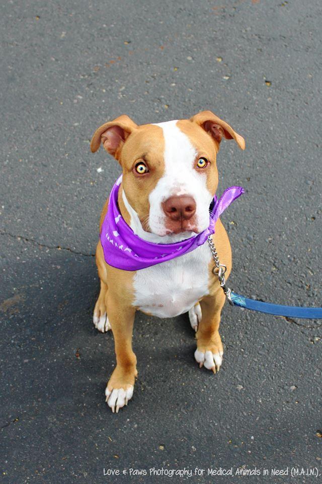 Adopt Dusty on Pet adoption, Animals, Pitbull terrier