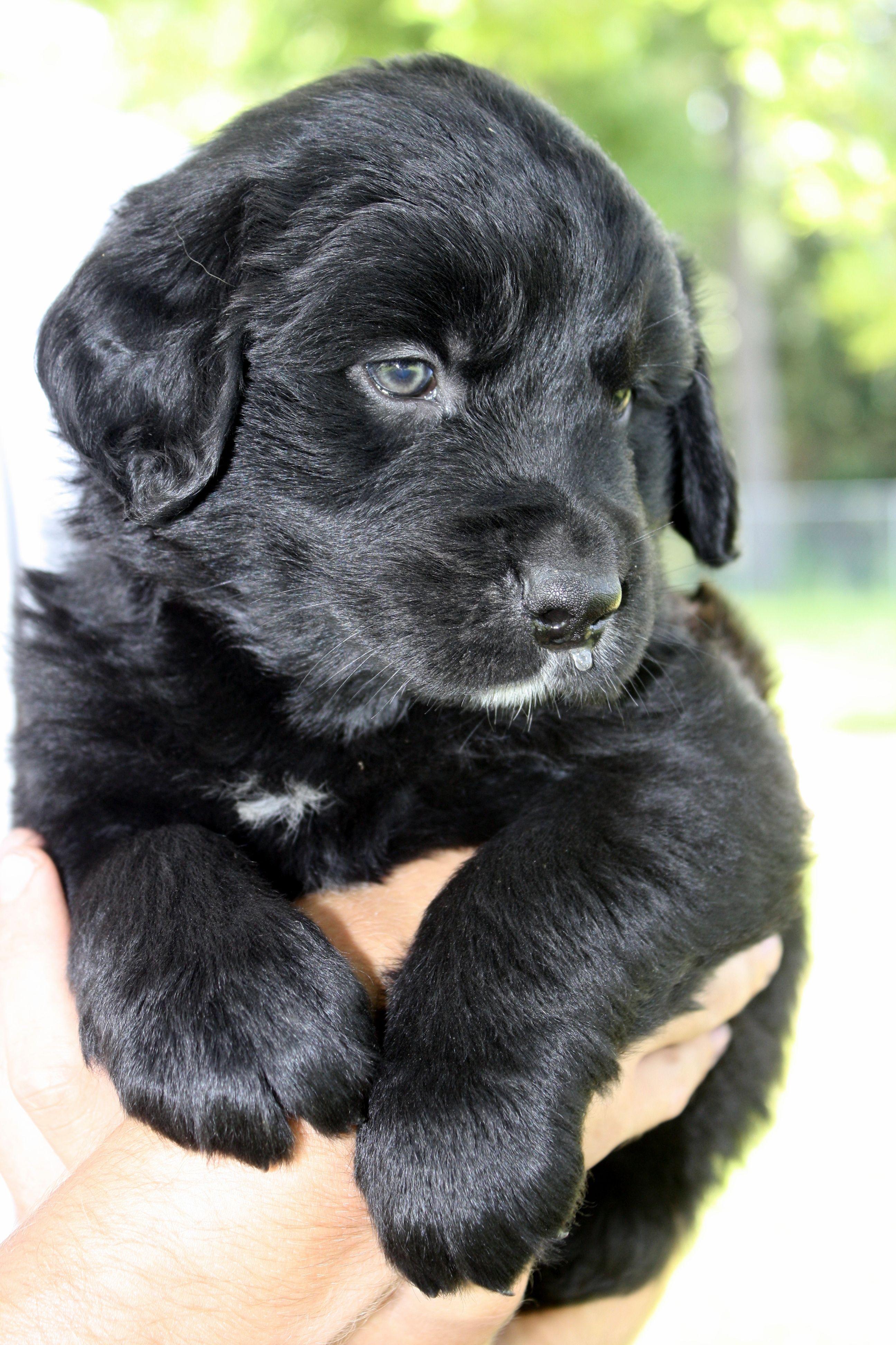 Golden Mountain Dog Female Golden Mountain Dog Black Labrador
