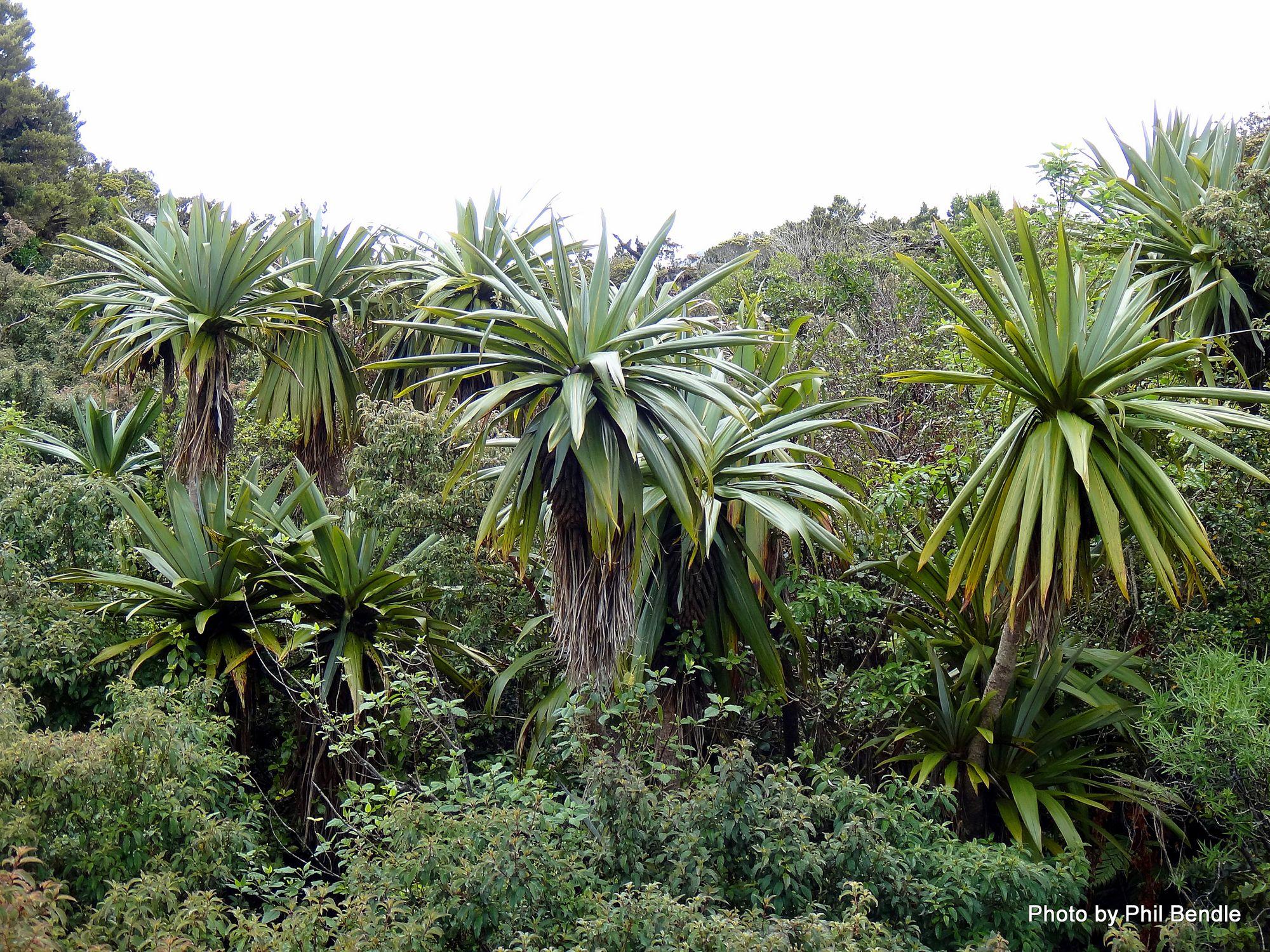 EXOTIC SEEDS! Cordyline indivisa MOUNTAIN CABBAGE TREE