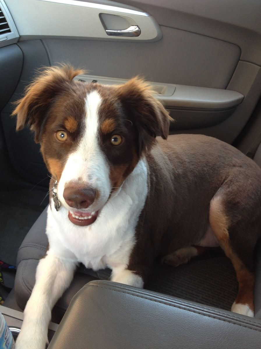 How I Give My Australian Shepherd Dog a Quick Hair Trim