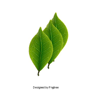 Three Mint Leaves Mint Leaves Material Three Pieces Green Png Transparent Clipart Image And Psd File For Free Download Leaf Clipart Mint Leaves Plant Leaves