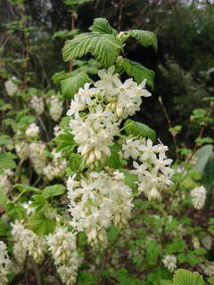Ribes sanguineum white icicle the very best white flowering currant ribes sanguineum white icicle the very best white flowering currant clusters of long pendant white flowers in early spring tough good in sun or shade and mightylinksfo