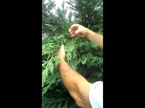 Trimming Leyland Cypress Youtube Leyland Cypress Leland Cypress Cypress