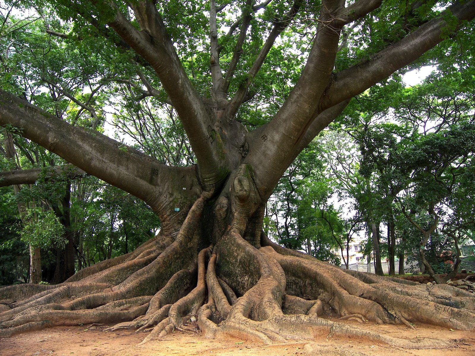 Kapok Tree [Ceiba pentandra] is a tropical tree of the order