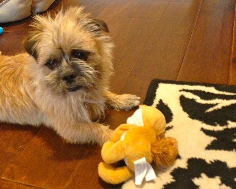 Meet Chewy A Petfinder Adoptable Shih Tzu Dog San Jose Ca