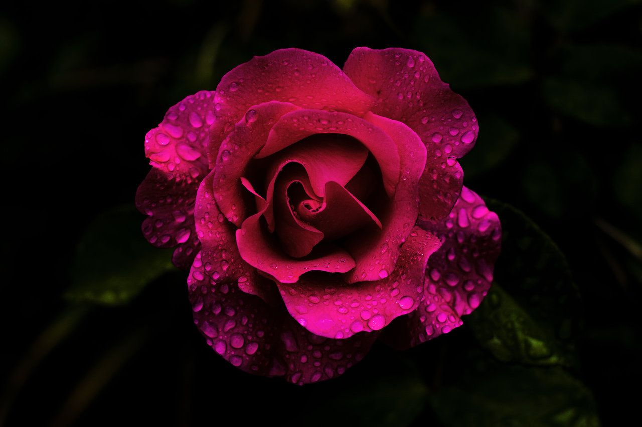 Roses Are Especially Beautiful On A Black Background And Covered