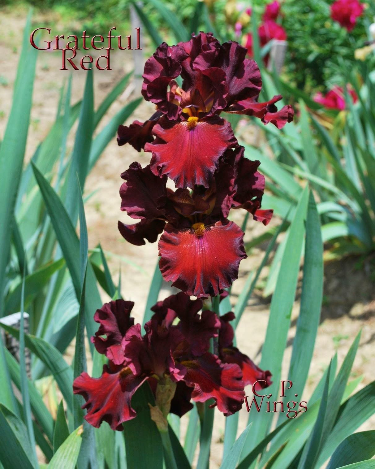 Pin by pam haik on plants i want for my garden pinterest gothic gothic garden rainbow flowers bearded iris ruby red irises grateful flora plants lilies izmirmasajfo Images