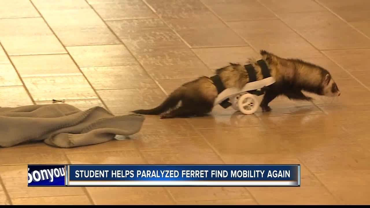 Paralyzed Ferret Finds Mobility Again With Help Of Star Nnu Student Pet Ferret Student Small Pets