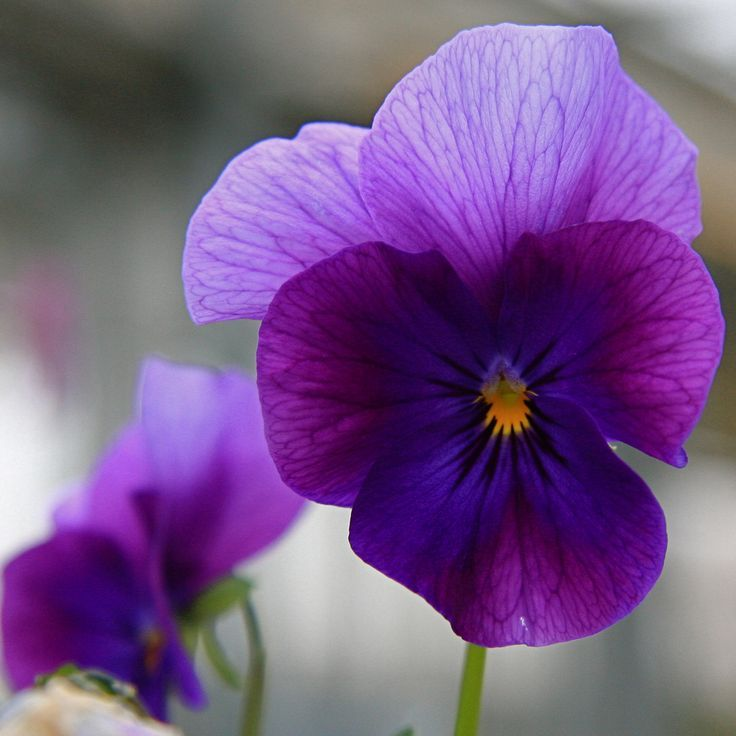 Bellasecretgarden With Images Pansies Flowers Pansies Flower Pictures