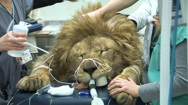 Lion Undergoes Rare Brain Surgery At Ut Chiari Malformation Brain Surgery Chiari