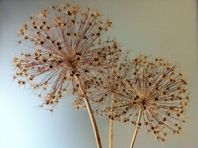 Allium Heads Dried Allium Flowers Dried Flower Arrangements Dried Flowers