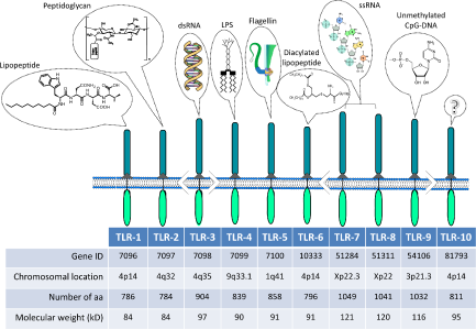 Single Nucleotide Polymorphisms Of Toll Like Receptors And