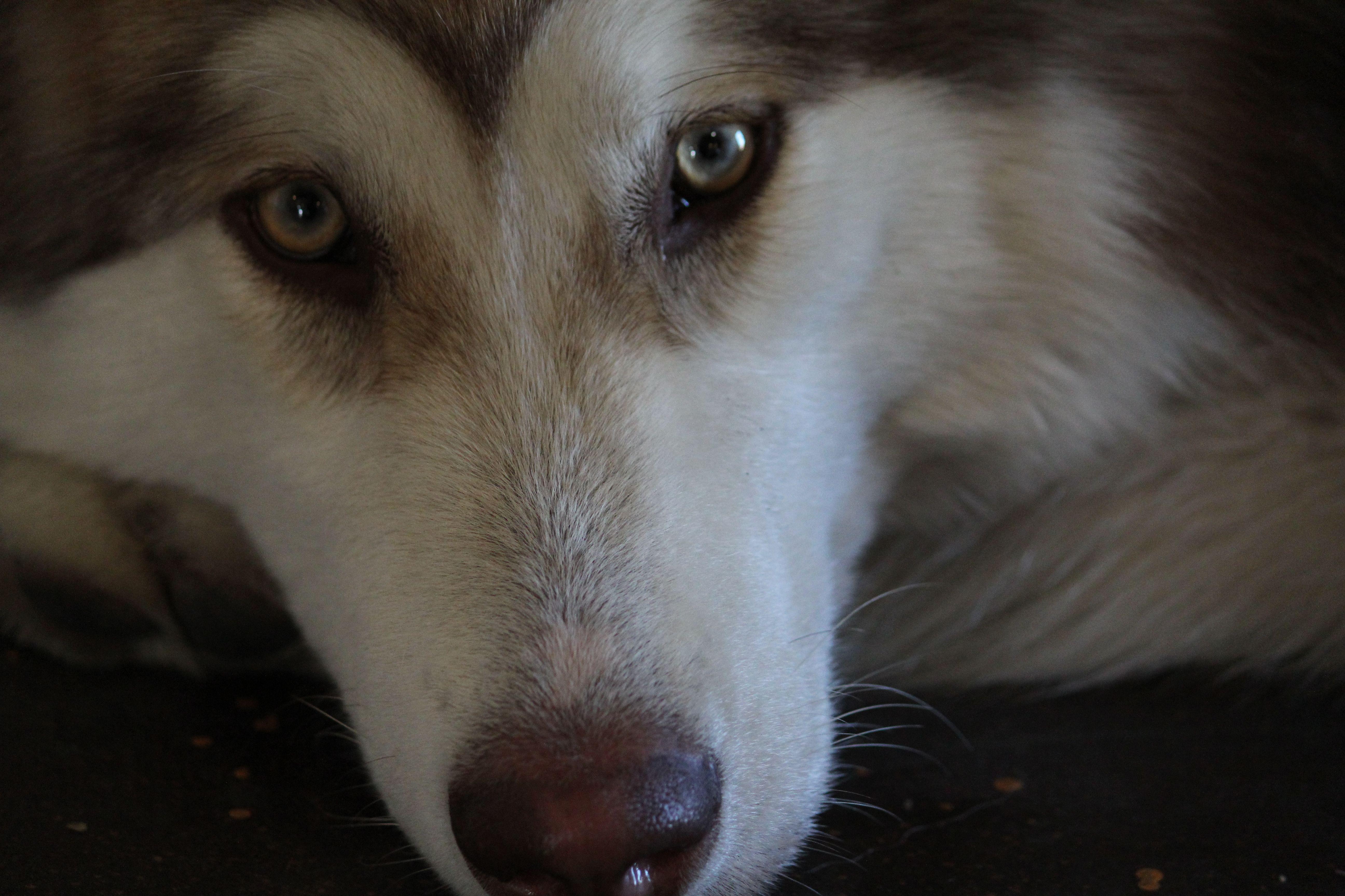 Auryn. Colorado Husky, Animals, Dogs