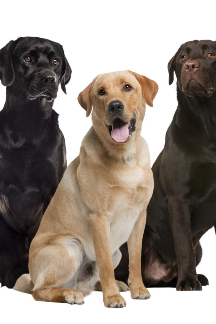 Three Labrador Sitting Isolated On White Labradorretriever