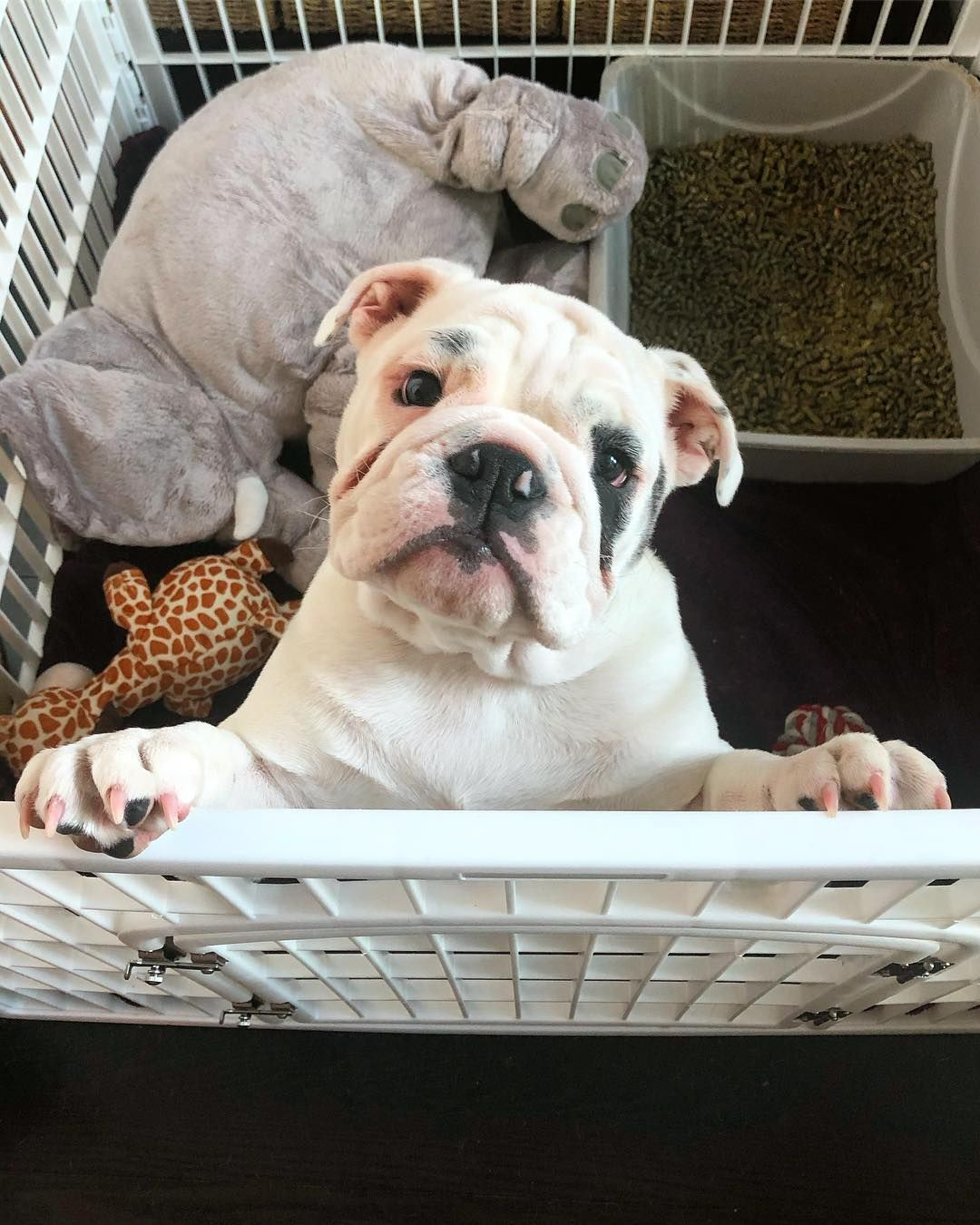 Mickey Turtle The Bulldogs On Instagram Welcome To My Crib