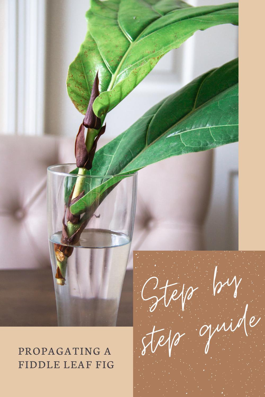 Propagating A Fiddle Leaf Fig In A Few Easy Steps Fiddle Leaf Fig Tree Fiddle Leaf Fig Fiddle Leaf