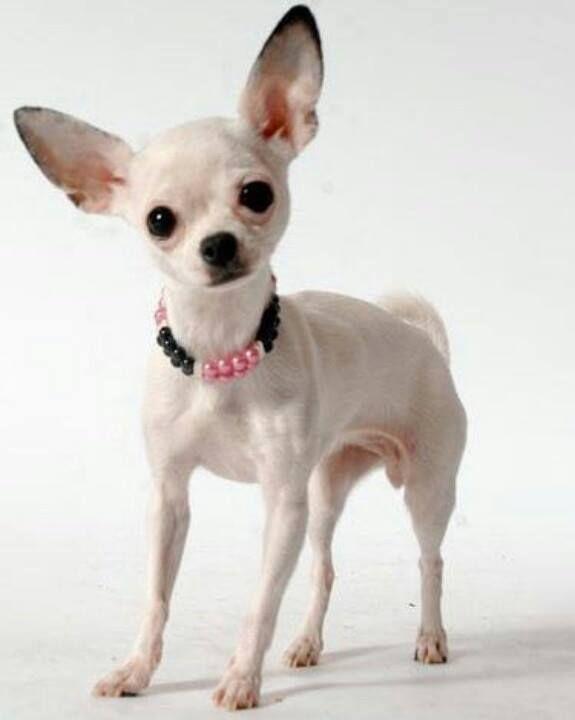 Pin By Darlene Austin On Chihuahua Pics 3 Chihuahua Love Cute
