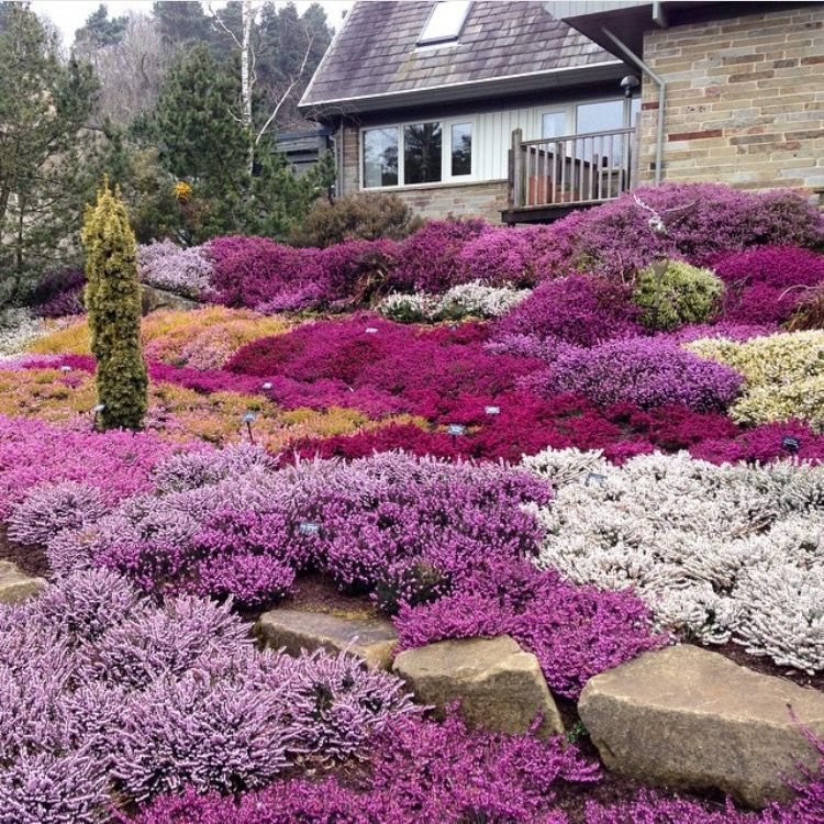 A Winter Heather Garden For Bees Http Www Beeginnerbeekeeper Com A Winter Heather Garden For Bees Heather Gardens Winter Garden How To Attract Birds