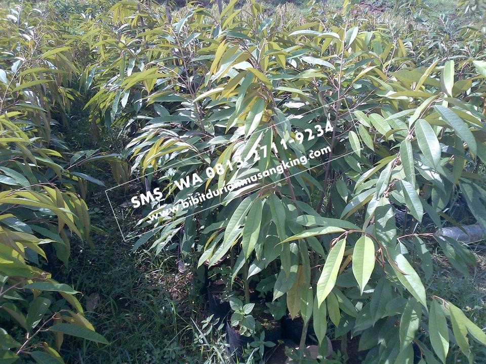 Hp Wa 0813 2711 9234 Harga Bibit Durian Musang King Jogja Jual Bibit Durian Musang King Di Jogja Harga Bibit Durian Musang King Bandung Bibit Durian Plants