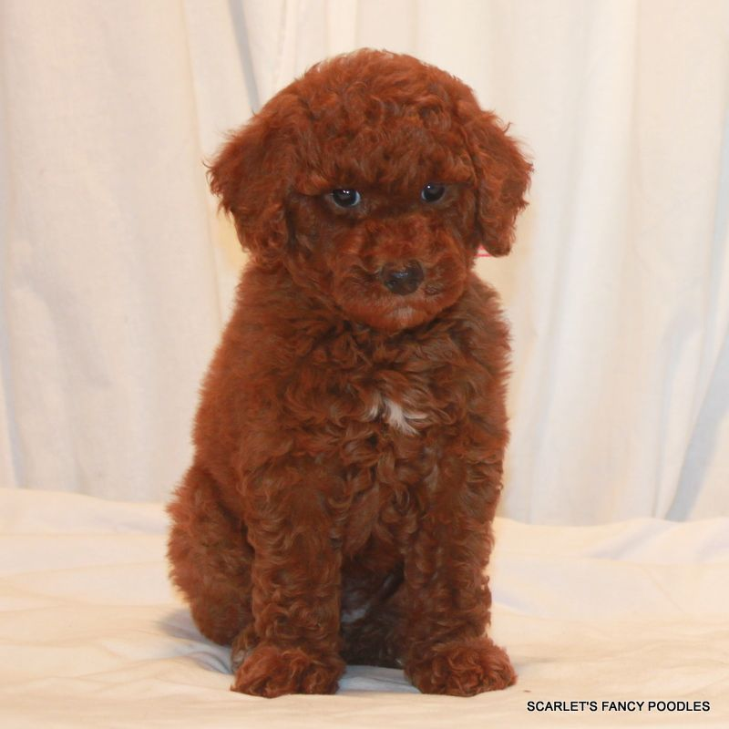 Red Moyen Poodle Puppy Will Be 20 30 Lbs Fully Grown Very