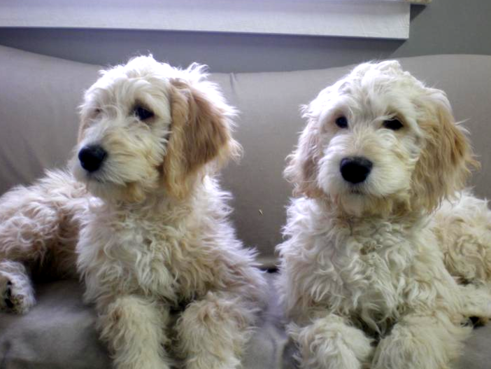 Goldendoodle Puppies Dogs For Sale In Michigan F1 Black Mountain Goldendoodles Goldendoodle Puppy Goldendoodle Goldendoodle Puppy For Sale