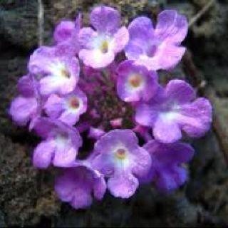 Purple Lantana - Very hearty