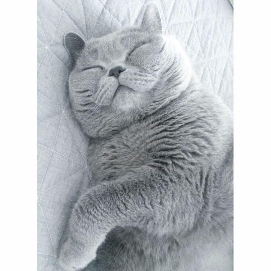 111 Vind Ik Leuks 2 Reacties British Shorthair Loves Britishshorthairloves Op Instagram Fun Facts Man Cute Cats And Kittens British Shorthair