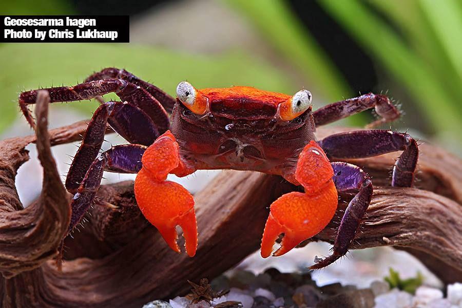 Deux Nouvelles Especes De Crabes Vampires Decouvertes A Java