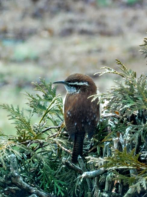 Carolina Wren / Beautiful little song birds, you'll know when they're in your yard.  Photo in Birds in our Yard - Google Photos - S.Dorman
