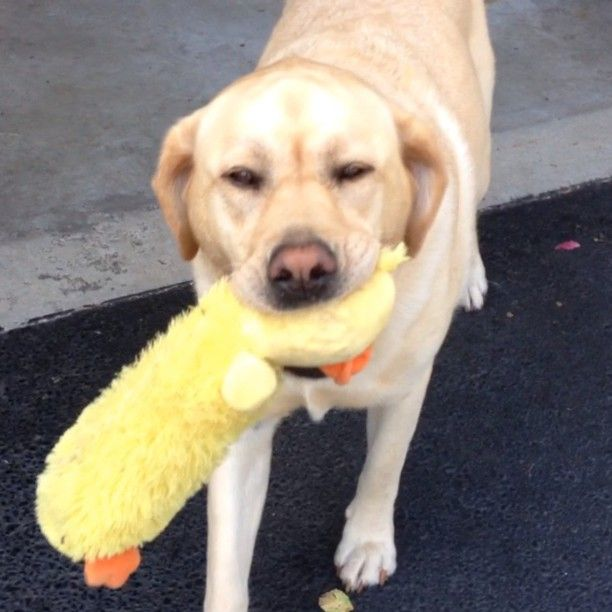 This is Abby's yellow duck. Not to be confused with the ginormous duck. August, 2013 [VIDEO]