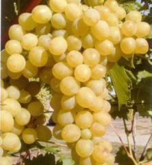 Vinič stolový rezistentný ´SUZY´ 30-40 cm, voľnokorenný