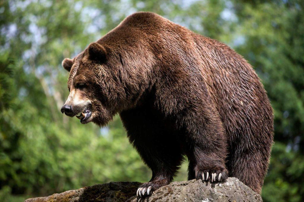 Salmon Toss Kicks Off Bear Affair 2015 Bear Surviving In The Wild Woodland Park Zoo