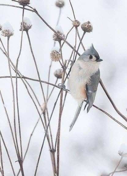 pinclaudia on winter  beautiful birds winter bird